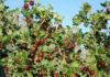 Выбор сорта крыжовника для посадки весной
