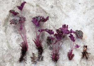 Черенкование растения гейхера