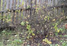Куст смородины осенью - подготовка к зимовке