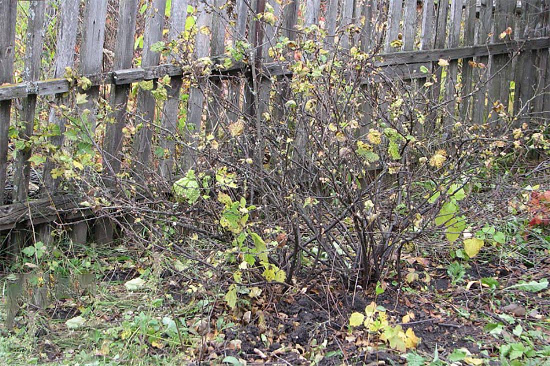 Смородиной обрезка и подкормка осенью пригибание веток на зиму