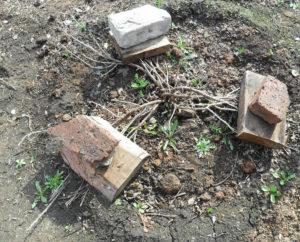 Пригнутые к земле ветки смородины