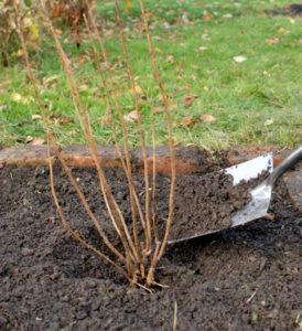 Подсыпка грунта для зимовки смородины