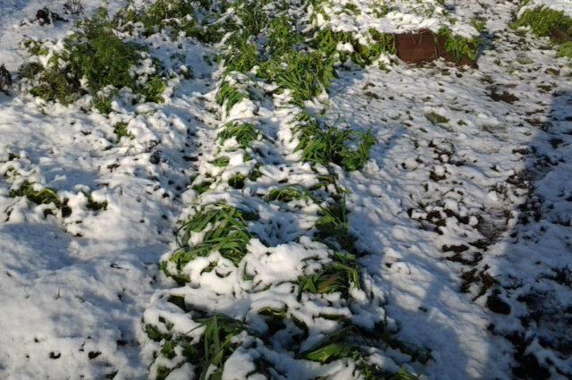 Посадка чеснока и моркови осенью под зиму