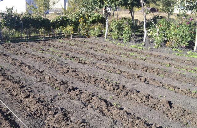 Что можно посадить под зиму на огороде