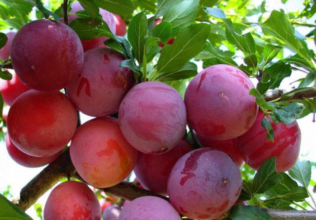 Описание дерева и плодов сливы