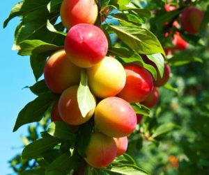 Подходящий грунт для хорошего урожая сливы