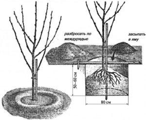 Как выкопать яму для посадки саженца сливы