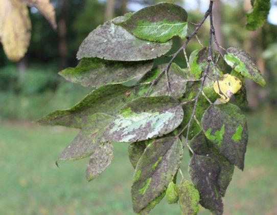 Сажистый грибок на листьях сливы