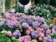 Гортензия весной в саду