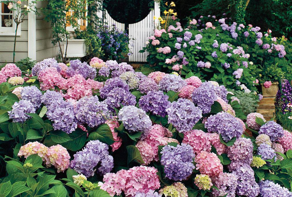 когда лучше сажать гортензию весной или осенью