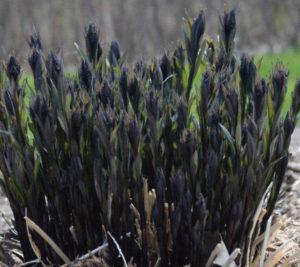 Когда и как собирать семена амсонии