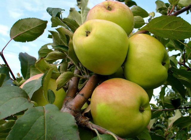 Описание сорта яблонь Братчуд