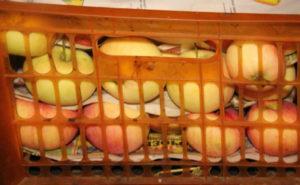 Хранение зимой яблок Братчуд