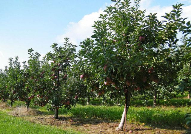 Фото сорта яблони Братчуд в саду