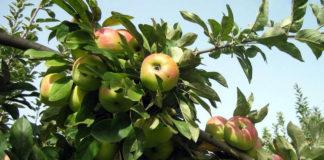 Сколько растет карликовая яблоня Братчуд