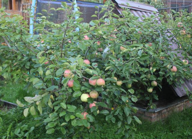 Подвиды карликовой яблони Братчуд