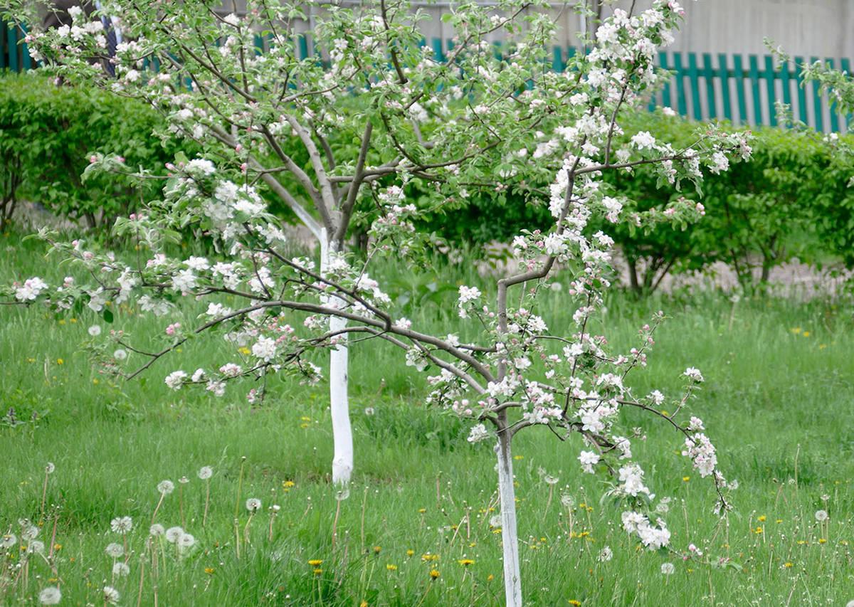 яблоня дерево молодое