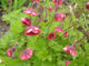Агротехника выращивания и ухода за гравилатом