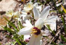 Агротехника выращивания иксии в открытом грунте