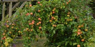 Плюсы и минусы яблони сорта Конфетное