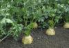 Агротехника и правила выращивания корневого сельдерея в открытом грунте
