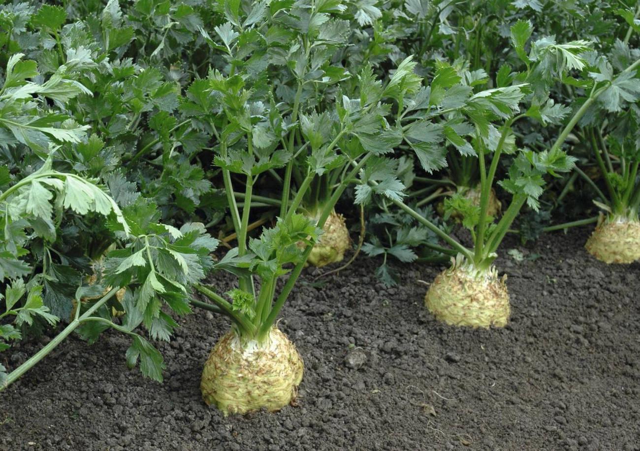 Выращивание корневого и черешкового сельдерея через рассаду: посадка семян и высадка в грунт