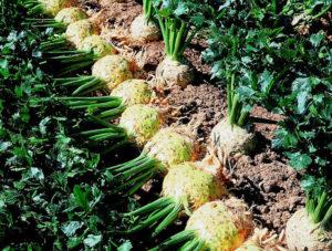 Хорошие сорта сельдерея корневого: посадка и уход