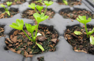 Посадка семян корневого сельдерея в грунт