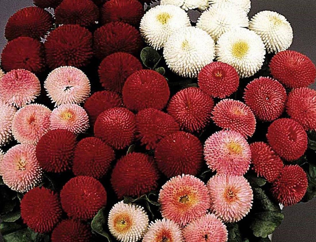 Купить цветы маргаритки минске, цветов