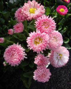 Возле каких цветов посадить маргаритки