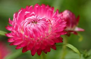 Агротехника ухода за цветами маргаритки в саду