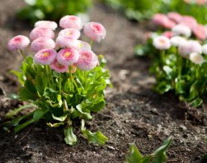 В каком месте посадить цветы маргаритки