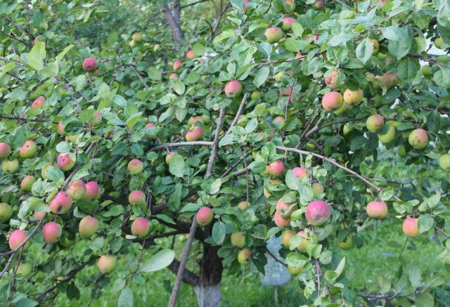 Описание внешнего вида яблони Мелба