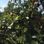 Где можно выращивать сорт яблонь Мелба