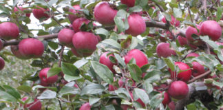 Преимущества и недостатки сорта яблони Мелба