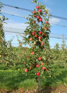 Крона яблони Мелба с яблоками