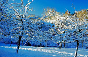 Как зимует яблоня сорта Мелба