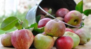 Плюсы и минусы сорта яблони Мелба