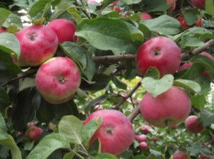 Сорт яблони мелба боровинка
