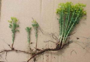 Размножение молочая делением корневища
