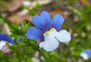 Немезия разноцветная Nemesia Versicolor