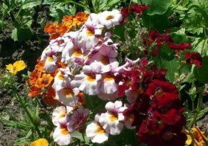 Уход после цветения немезии