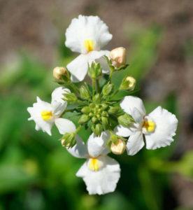 Немезия пышноцветущая Nemesia Floribunda
