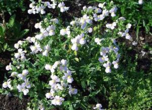 Фото немезии в саду на даче