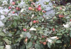 Описание внешнего вида яблони сорта Приземленное