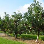 Отзывы о плюсах и минусах яблони сорта Приземленное