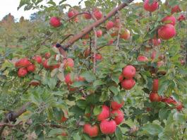 Преимущества и недостатки яблони сорта Приземленное