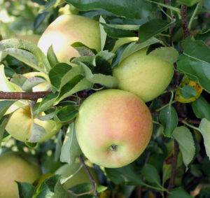 Яблоки на яблоне Приземленное