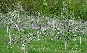 Когда цветет яблоня Приземленное
