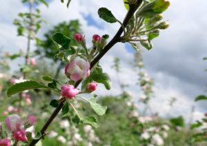 Цветение и период созревания яблок Приземленное
